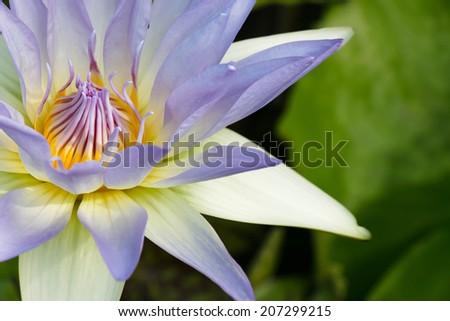 lotus flower, beautiful water lilly - stock photo