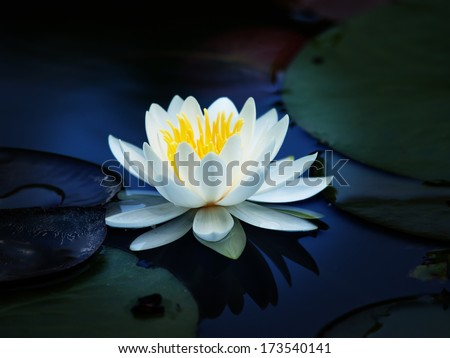 Lotus flower blooming on a quiet pond. impressional style. - stock photo