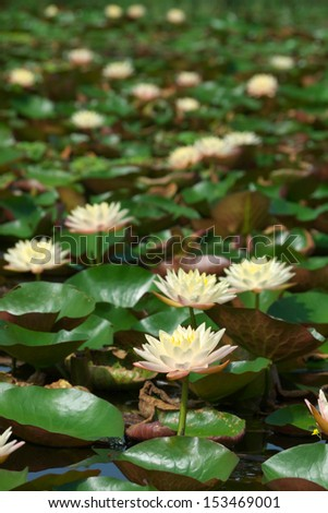 lotus flower blooming with reflection  - stock photo
