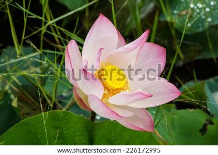 lotus flower blossom - stock photo
