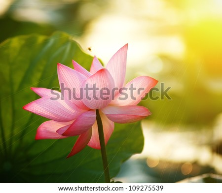 lotus flower blossom in the sunrise - stock photo