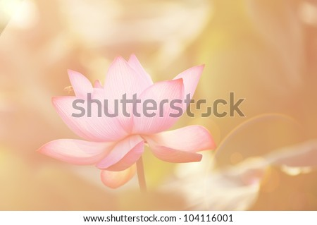 lotus flower blossom ,in the sunset - stock photo