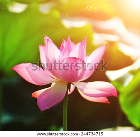 lotus flower blossom in the sunset - stock photo
