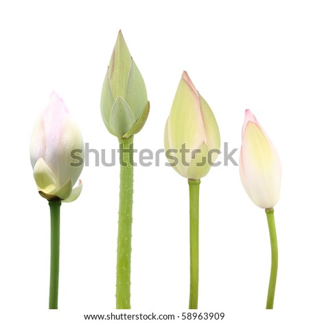 lotus flower buds isolated on white - stock photo