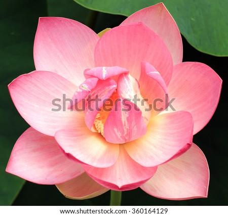 Lotus flower close-up - stock photo