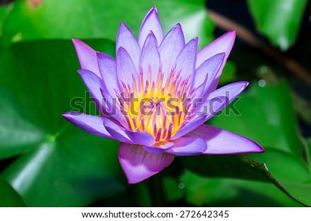 Lotus Flower Closeup - stock photo