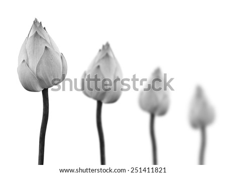 Lotus flower in black and white isolated on white background. - stock photo