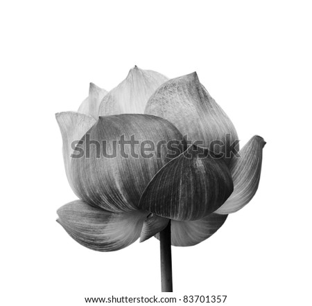 Lotus flower in black and white isolated on white background - stock photo