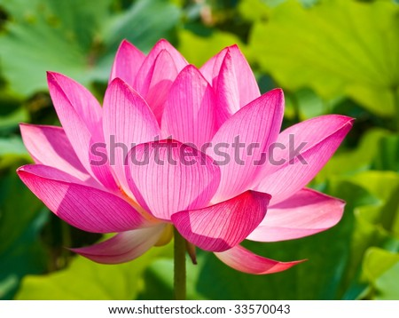 Lotus flower in full bloom - stock photo