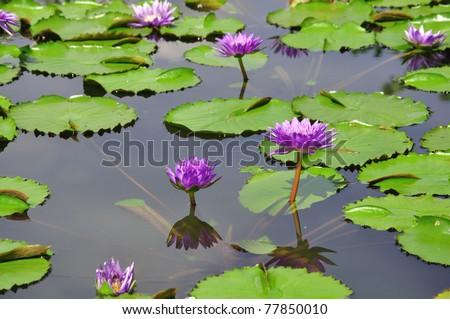 Lotus flower in pond - stock photo