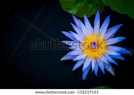 Lotus flower in pond background. A beautiful waterlily or lotus flower in pond.