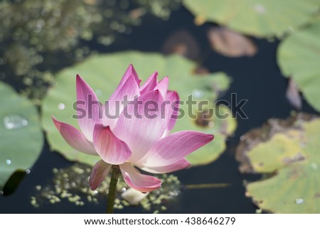 Lotus flower in the city of Samuth Prakan south of the city of Bangkok in Thailand in Southeastasia.