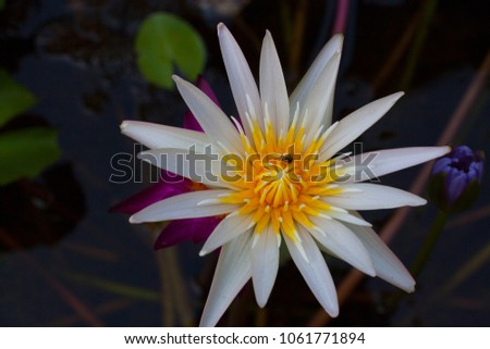 Lotus flower flower that grows water stock photo royalty free lotus flower is a flower that grows in water with a variety of colors and varieties mightylinksfo