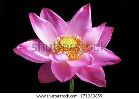lotus flower isolated on black background. - stock photo