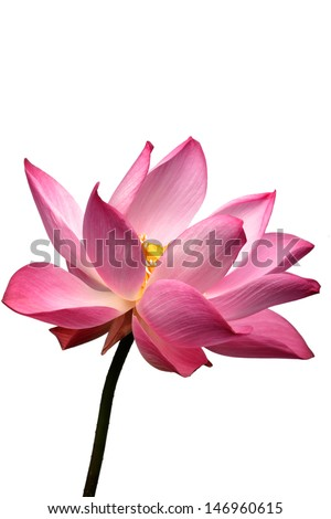 lotus flower isolated on white background. - stock photo