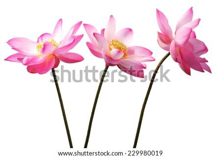 lotus flower isolated on white background. - stock photo