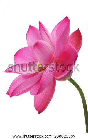 lotus flower isolated on white background - stock photo