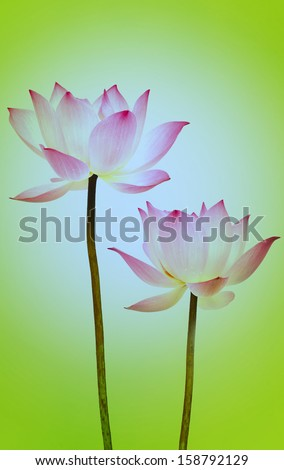 Lotus flower. Isolated with a green background