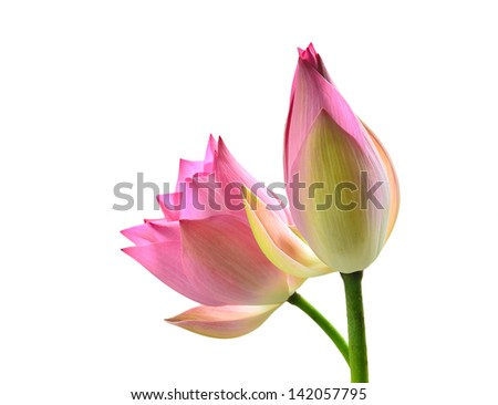 Lotus flower. Isolated with a white background - stock photo
