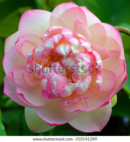 Lotus flower, Nelumbo nucifera, known by a number of names including Indian Lotus, Sacred Lotus, Bean of India, or simply Lotus, is a plant in the monotypic family Nelumbonaceae. - stock photo