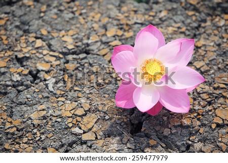lotus flower on dry land - stock photo