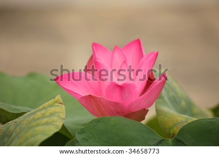 Lotus flower on garden in Royal palace, Thailand - stock photo