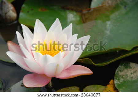 Lotus flower on the lake - stock photo