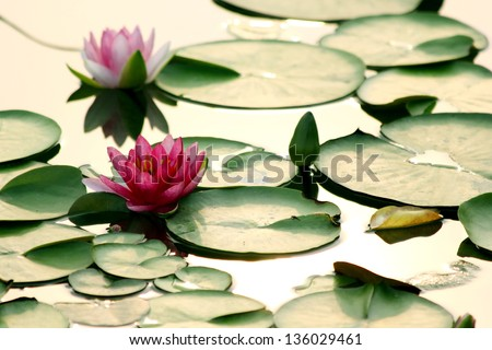 lotus flower on water - stock photo