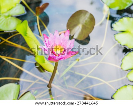 lotus flower or water lily flower blooming - stock photo