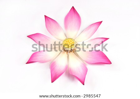 lotus flower petals on the white background