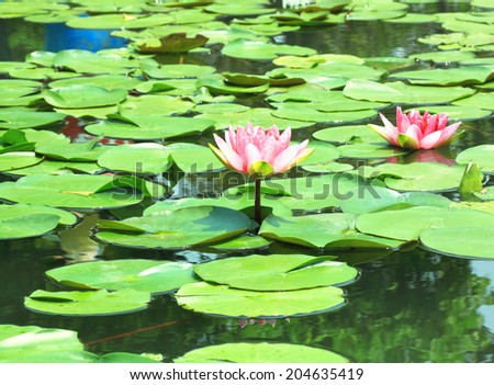 Lotus flower plants in the water. Natural background