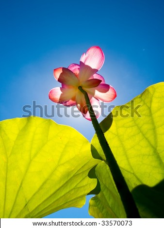 Lotus flower rise up to the sky - stock photo