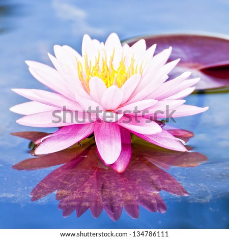 lotus flower [Square Size] - stock photo