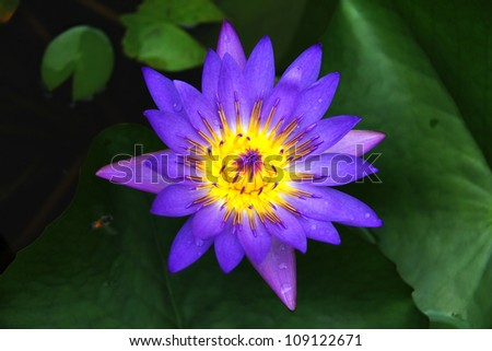 Lotus flower with deep purple and yellow colors - stock photo