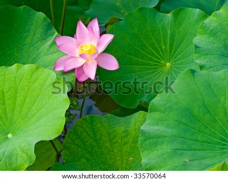 Lotus flower with leaves - stock photo