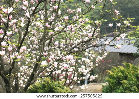 Lotus-flowered Magnolia,Large-flowered Magnolia,many beautiful pink flowers blooming in the countryside,Southern Magnolia,Loblolly Magnolia - stock photo