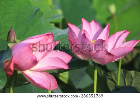 Lotus flowers and bud,beautiful pink lotus flowers blooming in the pond in summer  - stock photo