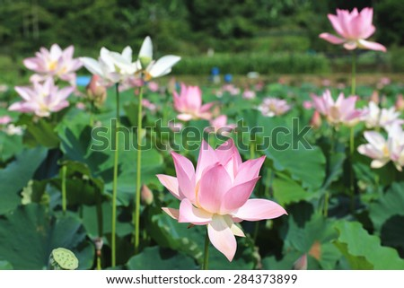Lotus flowers and buds,beautiful pink and white lotus flowers blooming in the pond in summer - stock photo