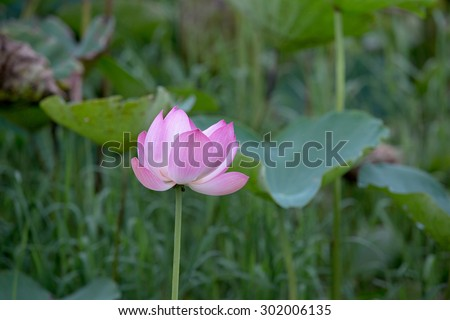 Lotus flowers and green leaf in the pond
