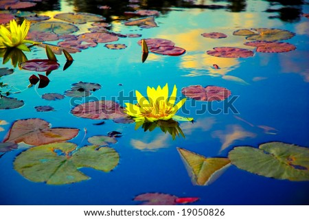Lotus flowers and leaves on a fish pond