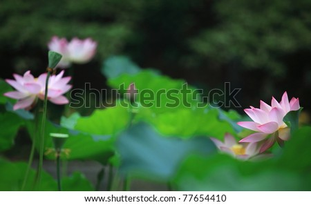 Lotus flowers blooming - stock photo