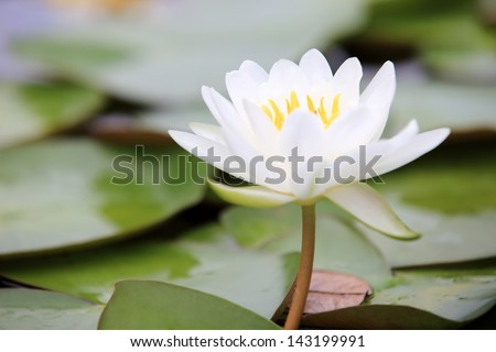 Lotus flowers blooming in the morning after raining - stock photo