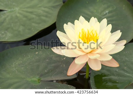 Lotus flowers yellow this flower buddha stock photo royalty free lotus flowers in yellow this is the flower of the buddha should bring rustic beauty mightylinksfo Image collections