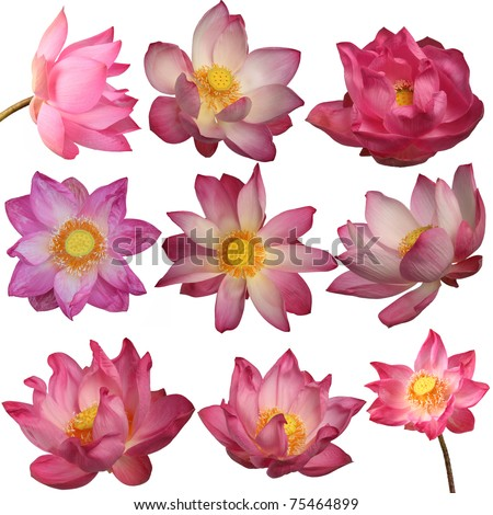 lotus flowers isolated on white background - stock photo