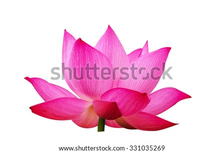 Lotus flowers on white background