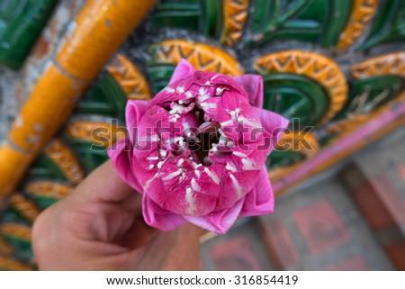 Lotus for Buddhist religious ceremony in Chiang Mai, Thailand. Religion Thailand, Thailand Temple, Thailand Lotus in Thailand, Lotus and Buddhism, religious ceremonies, spiritualistic, spirituality. - stock photo