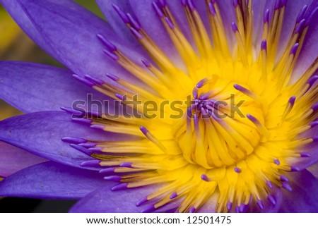 lotus for conceptual purpose - stock photo