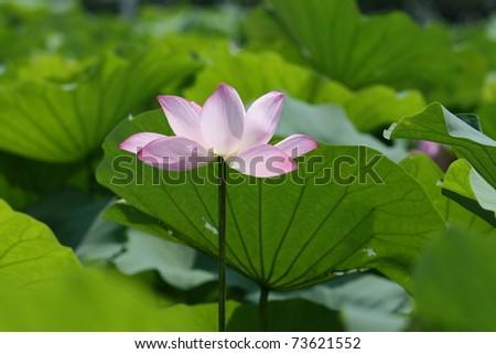 Lotus in full bloom - stock photo