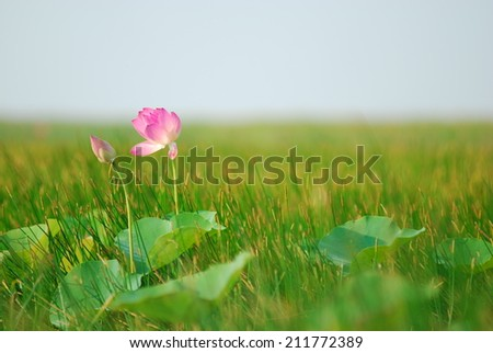 Lotus in green lake with blue sky,Thailand. - stock photo