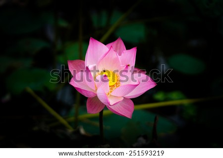 Lotus in lake with some bees. It's a symbol of Vietnam.  Lotus is also a flower of Buddhism in Vietnam. - stock photo